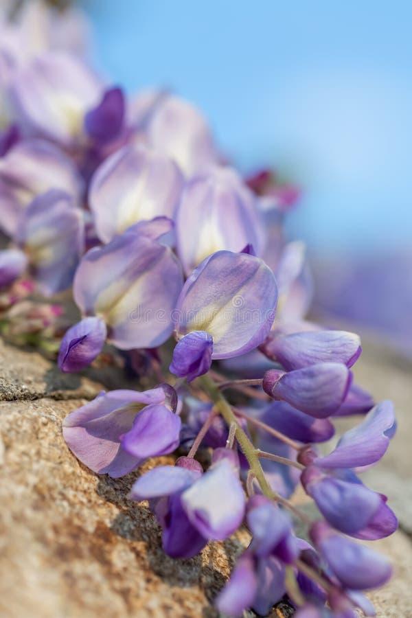Φωτογραφία τέχνης Ανθίζοντας κλάδος wisteria σε έναν οπωρώνα Καλλιτεχνική ταπετσαρία φύσης στοκ φωτογραφίες με δικαίωμα ελεύθερης χρήσης