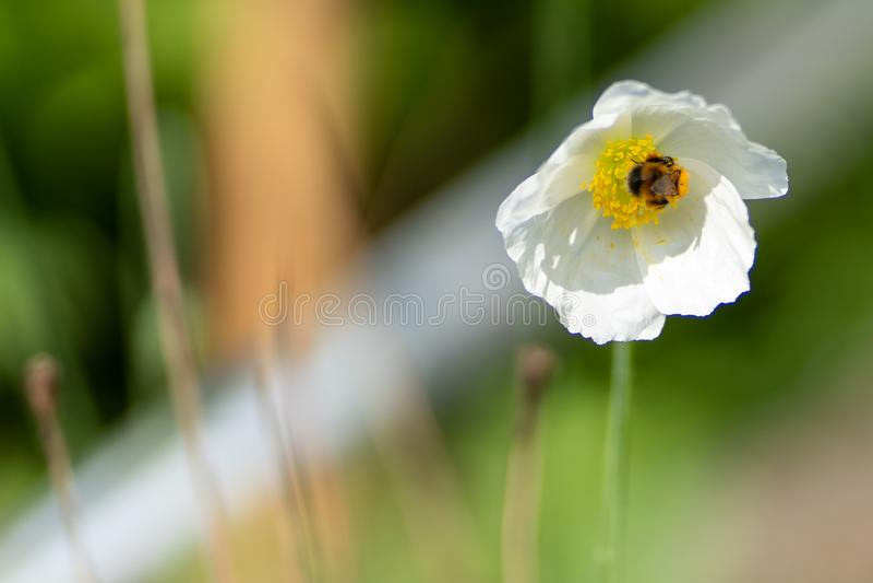 Φωτογραφία της άσπρης παπαρούνας με τη μέλισσα στενό σε επάνω στοκ εικόνες