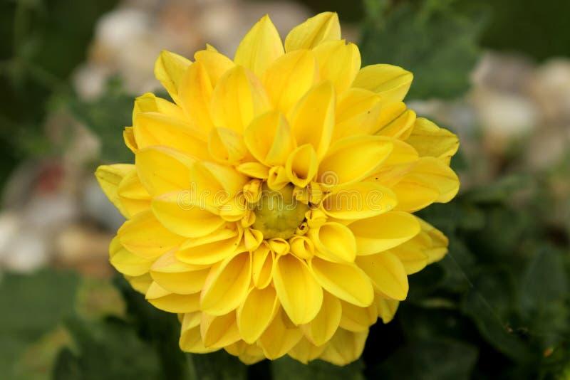 Φωτογραφία της κίτρινης γαλλικής κεφαλής marigold στοκ φωτογραφία με δικαίωμα ελεύθερης χρήσης