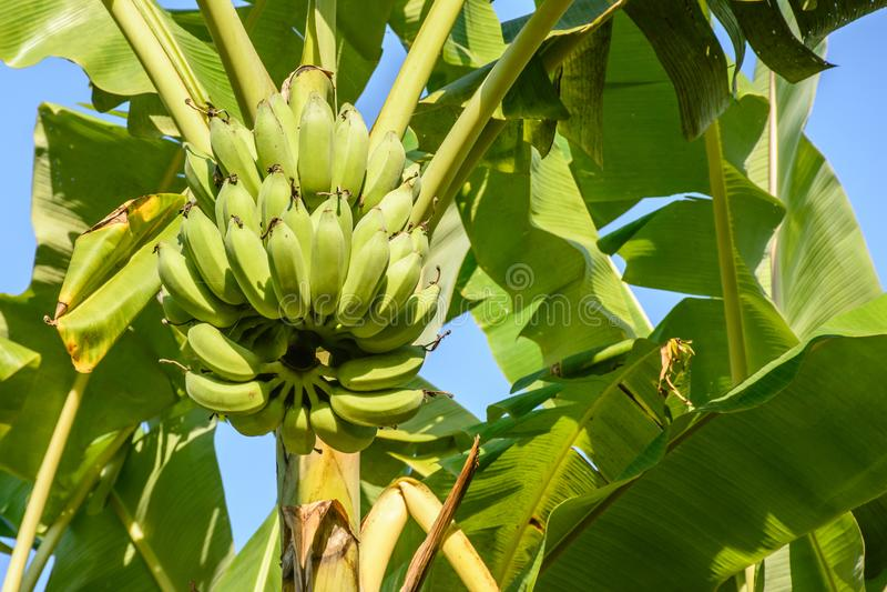 Φωτογραφία της μπανάνας και των εγκαταστάσεων μπανανών στοκ φωτογραφίες με δικαίωμα ελεύθερης χρήσης