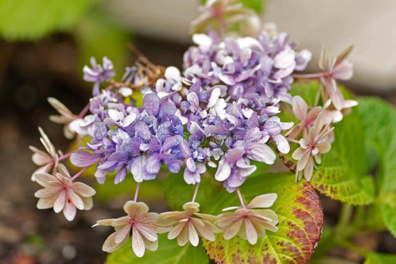 Φωτογραφία του ρόδινου λουλουδιού στο φυσικό υπόβαθρο στοκ εικόνες