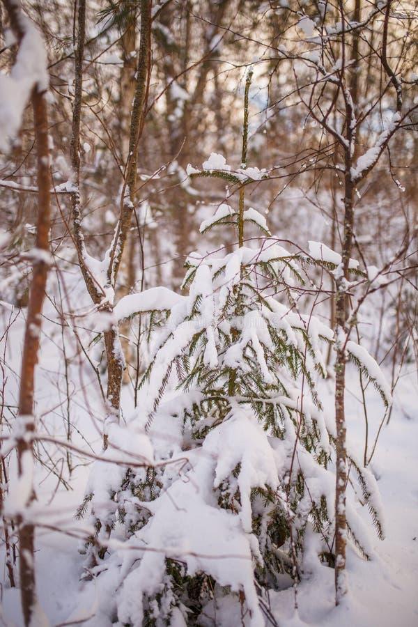 Φωτογραφία του χιονώδους δέντρου τοπίων και έλατου στοκ φωτογραφίες