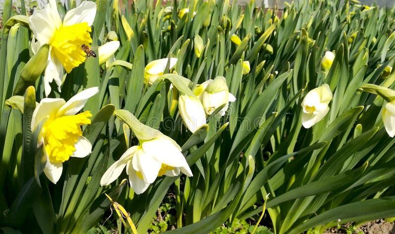 Φωτογραφία των άσπρων ναρκίσσων λουλουδιών με τους κίτρινους οφθαλμο στοκ φωτογραφία με δικαίωμα ελεύθερης χρήσης