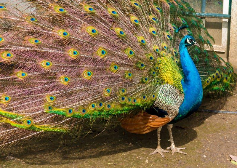 Φωτογραφία των πολλαπλάσιων ματιών των φτερών ενός ινδικού peafowl peacock στην πλήρη επίδειξη στοκ φωτογραφία