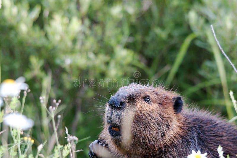 Φωτογραφίες ζώων Προβολή προφίλ κεφαλής ζώου κάστορα με κοντινό φόντο στοκ φωτογραφίες