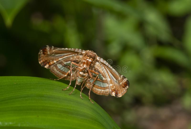 Φωτογραφικό φτερό Leaf Moth Thyderidae Moth που εθεάθη στο Thane, Maharashtra, Ινδία στοκ φωτογραφίες με δικαίωμα ελεύθερης χρήσης