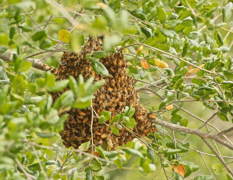 Φωλιά μελισσών μελιού στοκ φωτογραφία