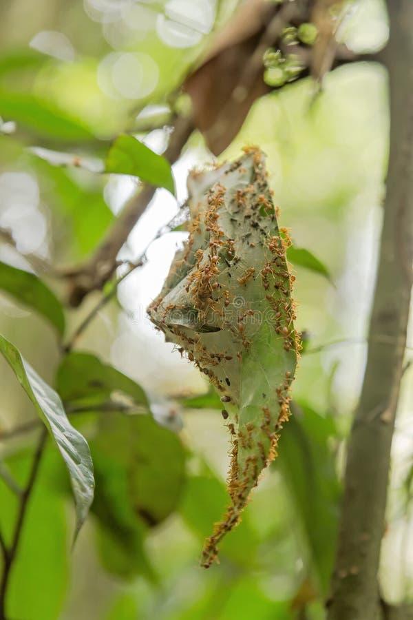 Φωλιά μυρμηγκιών υφαντών στοκ φωτογραφίες