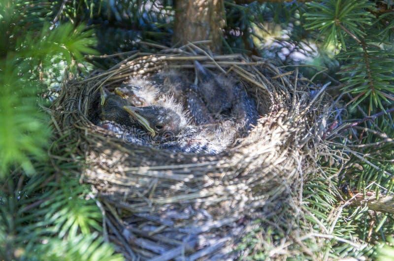 φωλιά πουλιών μωρών στοκ φωτογραφίες