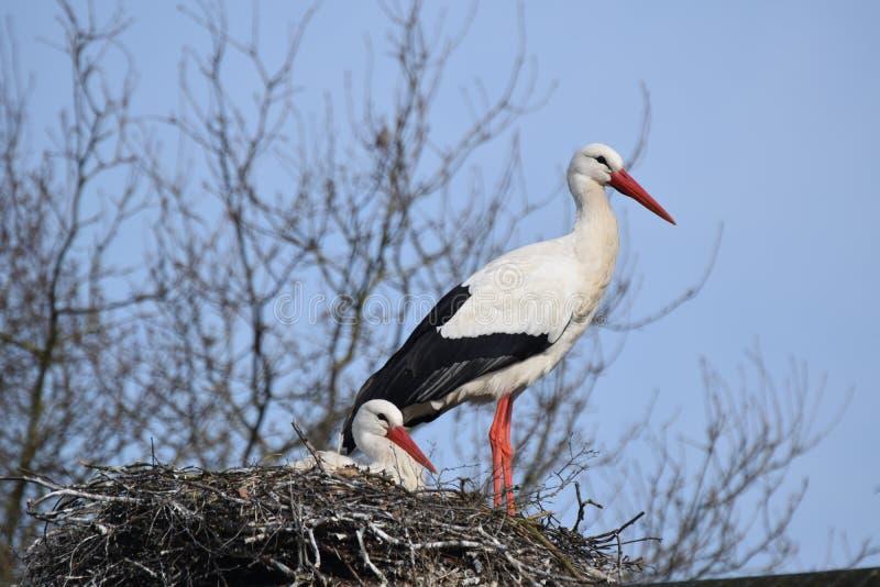 Φωλιά του πουλιού πελαργών στοκ εικόνα με δικαίωμα ελεύθερης χρήσης
