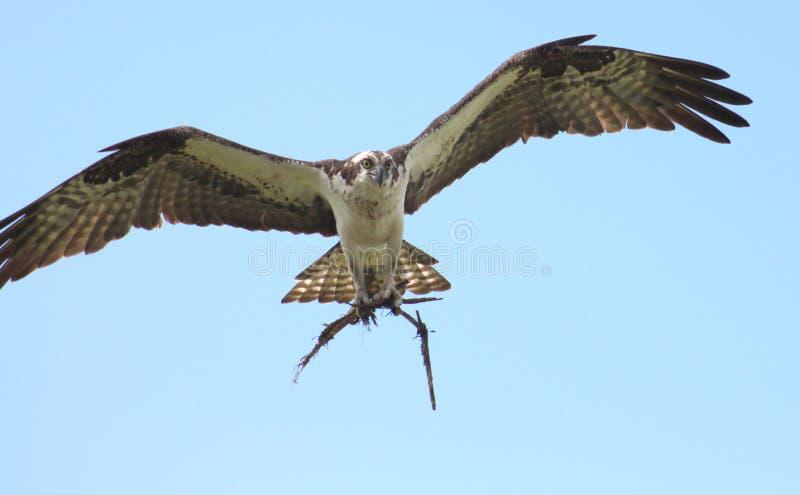 Φωλιά φωλιών κτηρίου πατέρων Osprey στοκ εικόνες με δικαίωμα ελεύθερης χρήσης