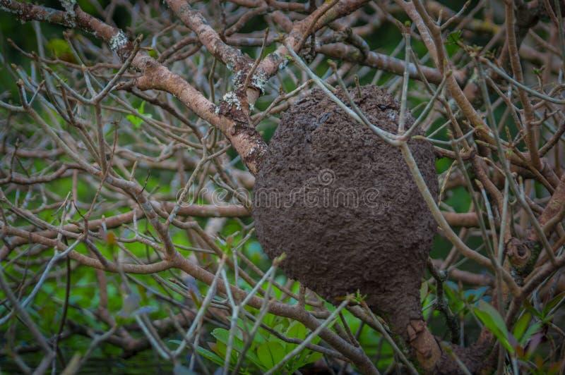 Φωλιές τερμιτών λάσπης στα δέντρα στην επιφύλαξη άγριας φύσης Cuyabeno στον Ισημερινό στοκ φωτογραφίες με δικαίωμα ελεύθερης χρήσης