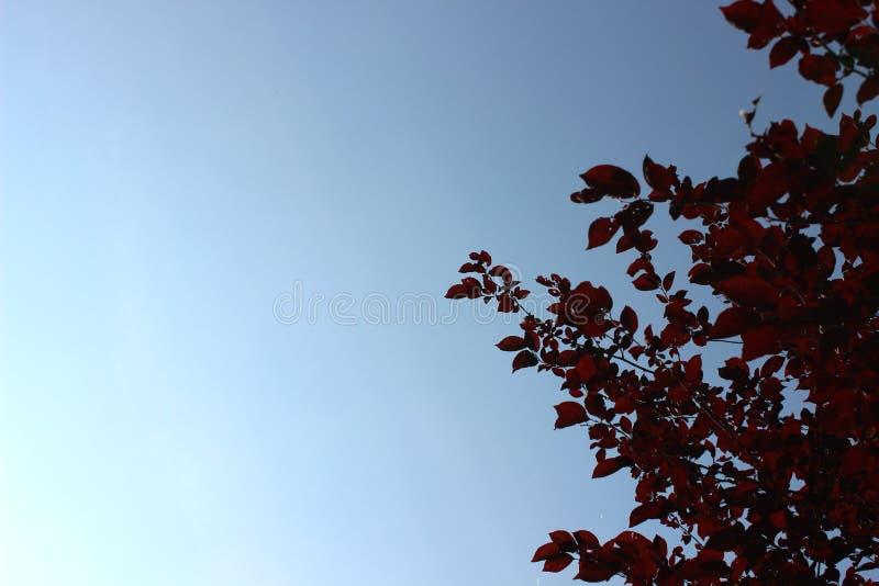 Φόντο επάνω δέντρου ουρανού και κόκκινου φύλλου στοκ εικόνες με δικαίωμα ελεύθερης χρήσης