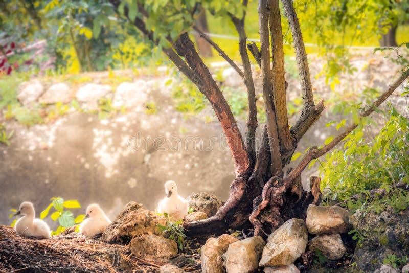 Φόντο πασχαλινών παπαγαλιών κύκνου με φωτοτυπικό χώρο για διακοπές σε μαγεμένο κήπο στοκ εικόνα