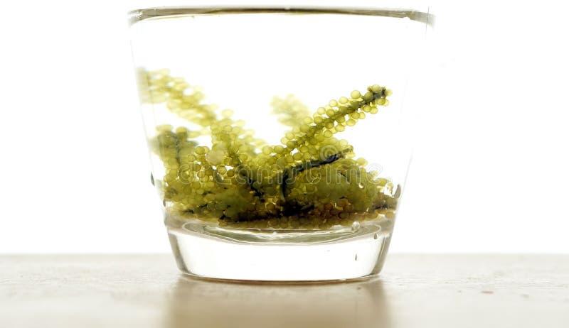 Φύκι σταφυλιών θάλασσας, budou uni ιαπωνικά ωκεάνια τρόφιμα φυκιών μεγάλος στοκ φωτογραφία με δικαίωμα ελεύθερης χρήσης