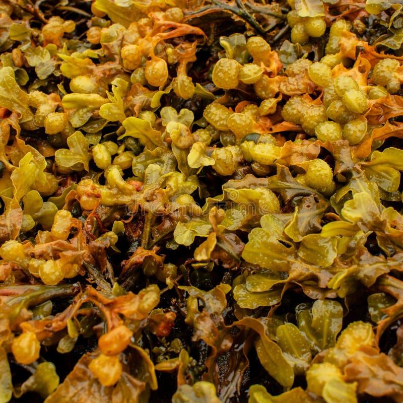 Φύκι Bladderwrack από τη δυτική ακτή της Σκωτίας στοκ εικόνες με δικαίωμα ελεύθερης χρήσης
