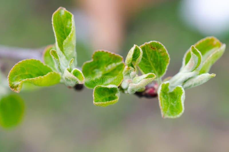 Φύλλα άνοιξη στον κλάδο του δέντρου μηλιάς στοκ εικόνες