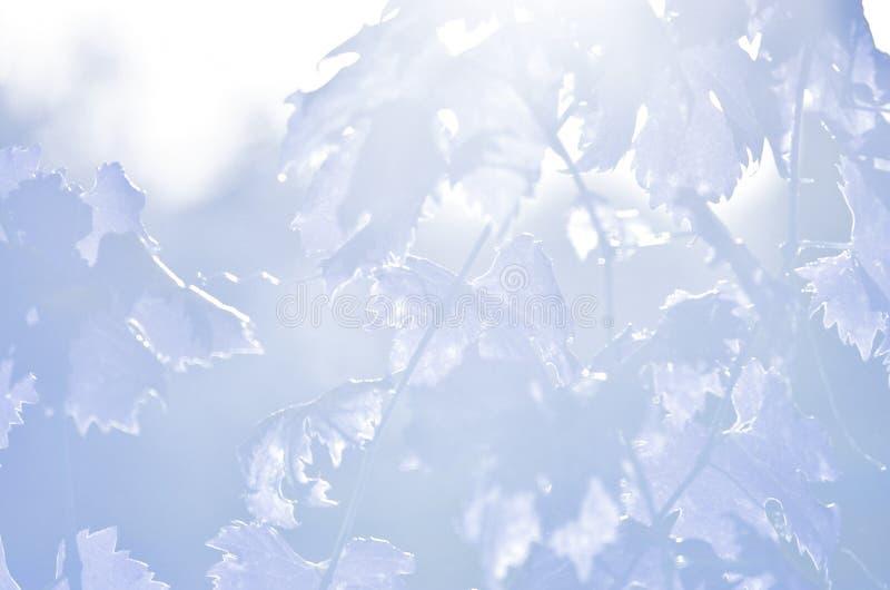 Φύλλα αμπέλων σταφυλιών στο μπλε στοκ εικόνα με δικαίωμα ελεύθερης χρήσης
