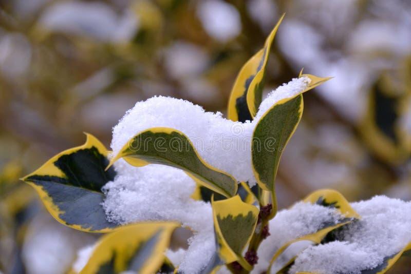 Φύλλα δέντρων που καλύπτονται στο χιόνι στοκ εικόνες με δικαίωμα ελεύθερης χρήσης