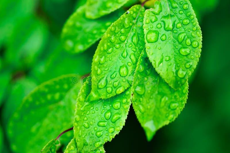 φύλλα δροσιάς στοκ εικόνες με δικαίωμα ελεύθερης χρήσης