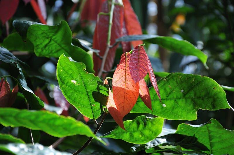 Φύλλα ενός δέντρου κακάου στη φωτεινή ηλιοφάνεια στοκ εικόνες