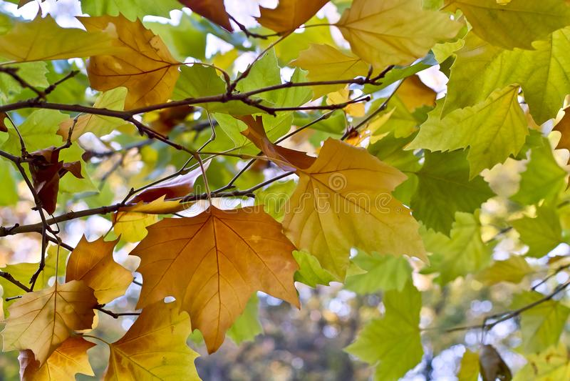Φύλλα ενός πλατανιού το φθινόπωρο στοκ φωτογραφία με δικαίωμα ελεύθερης χρήσης