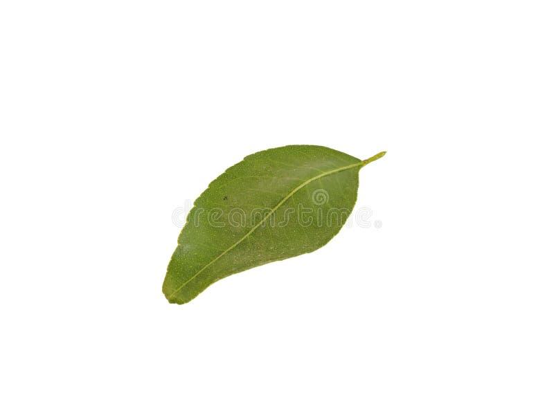 Φύλλα εσπεριδοειδών που απομονώνονται στο άσπρο υπόβαθρο στοκ φωτογραφίες