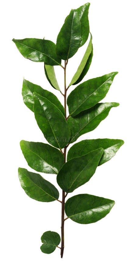 φύλλα κάρρυ στοκ φωτογραφίες