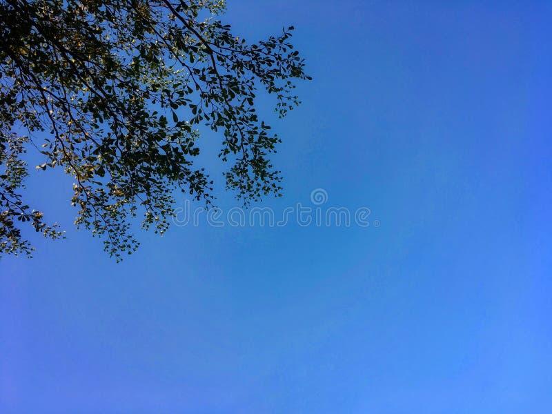 Φύλλα και άκρο ivorensis Terminalia με το υπόβαθρο μπλε ουρανού στοκ εικόνες με δικαίωμα ελεύθερης χρήσης