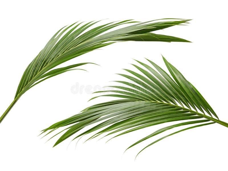 Φύλλα καρύδων ή φύλλα καρύδων, πράσινα φύλλα plam, τροπικό φύλλωμα που απομονώνεται στο άσπρο υπόβαθρο με το ψαλίδισμα της πορεία στοκ εικόνες με δικαίωμα ελεύθερης χρήσης