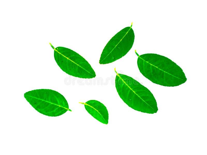 Φύλλα λεμονιών και πτώσεις του νερού σε ένα φύλλο λεμονιών στοκ εικόνες