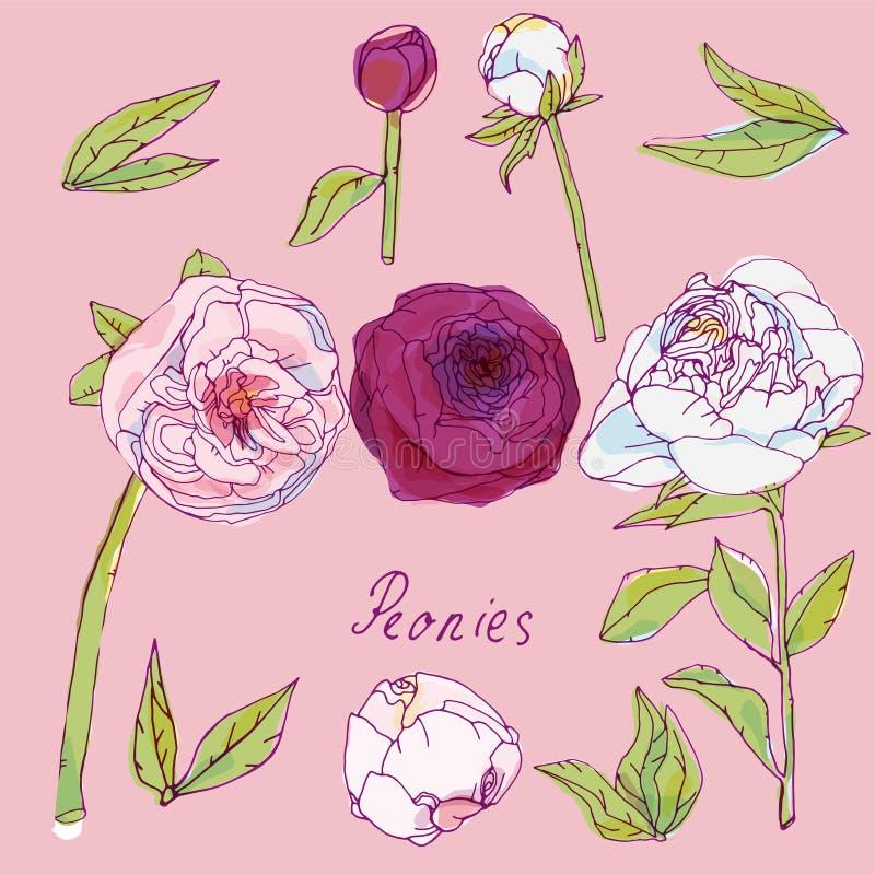 Φύλλα, μίσχοι και επανθίσεις της διανυσματικής απεικόνισης peonies Εικόνα με τα ρόδινα, πορφυρά και άσπρα λουλούδια τα μπαλόνια α διανυσματική απεικόνιση