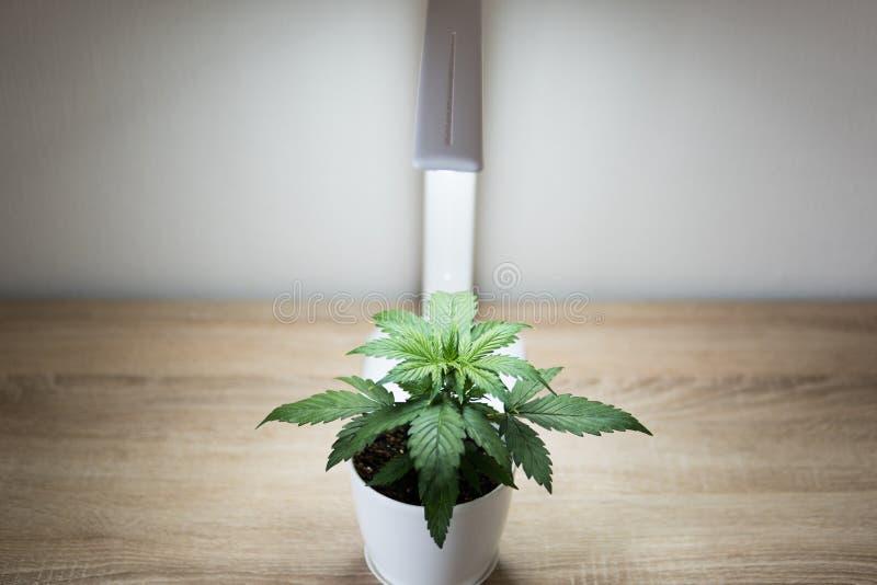 Φύλλα μαριχουάνα Αυξανόμενος τη μαριχουάνα στο σπίτι εσωτερική Εσωτερική έννοια καλλιέργειας της ανάπτυξης κάτω από το οδηγημένο  στοκ φωτογραφία με δικαίωμα ελεύθερης χρήσης