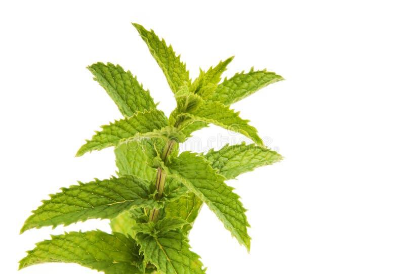 Φύλλα μεντών που απομονώνονται στοκ εικόνα με δικαίωμα ελεύθερης χρήσης