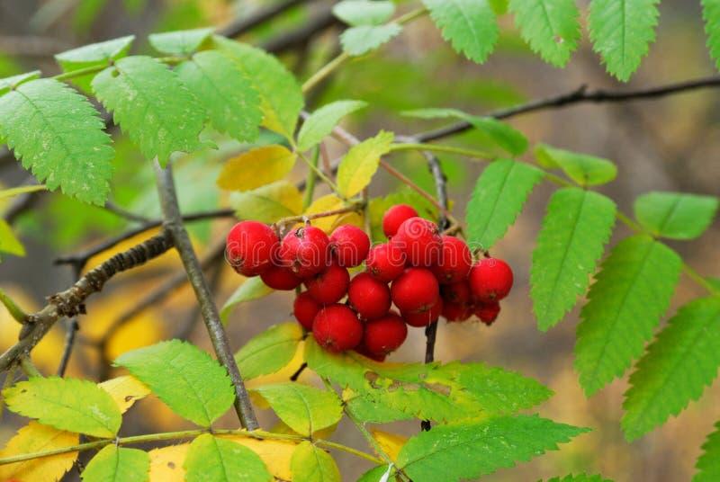 φύλλα μούρων φθινοπώρου στοκ εικόνες