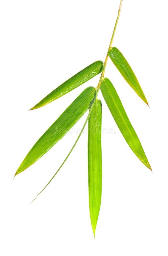 φύλλα μπαμπού στοκ εικόνα