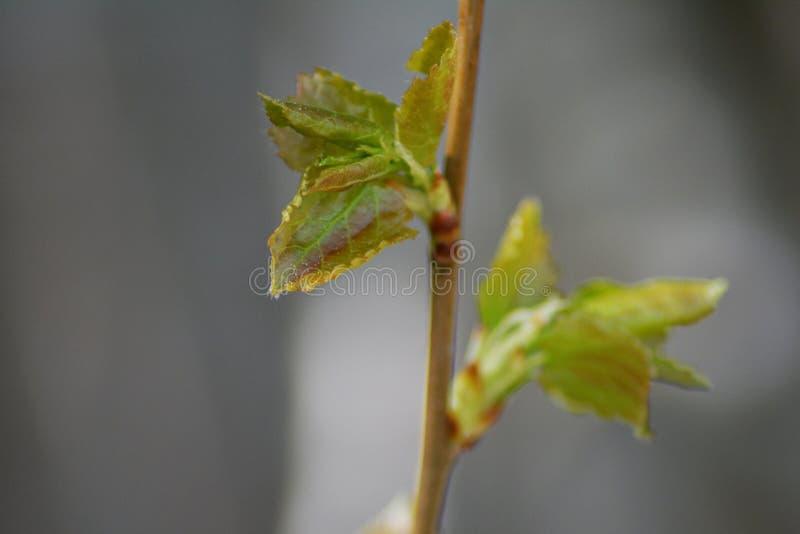 Φύλλα που ανοίγουν την άνοιξη στοκ εικόνες