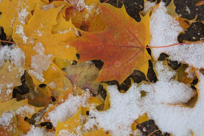 Φύλλα που καλύπτονται ζωηρόχρωμα στο χιόνι στοκ εικόνα με δικαίωμα ελεύθερης χρήσης