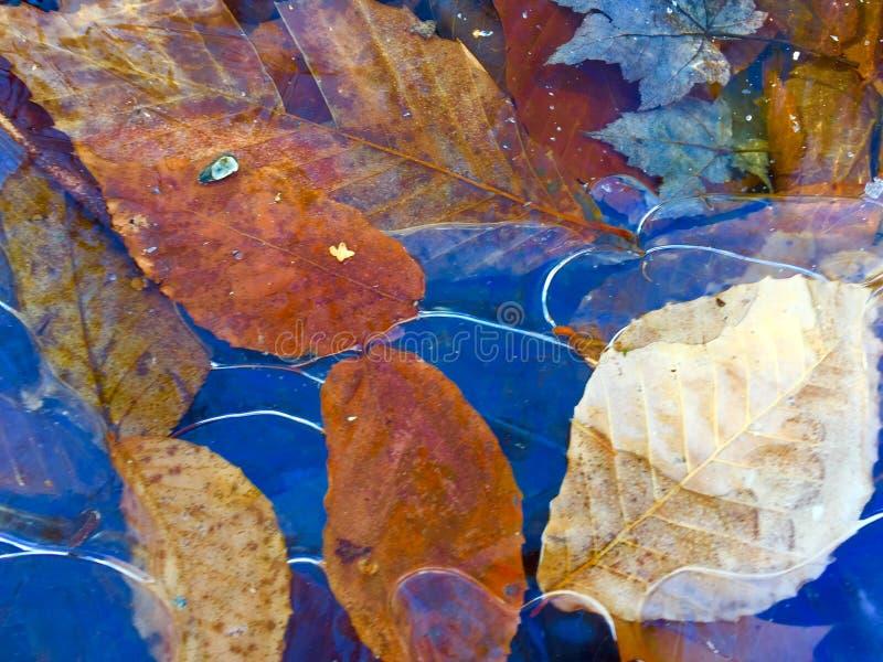 Φύλλα πτώσης που περιβάλλονται στον πάγο στοκ φωτογραφίες
