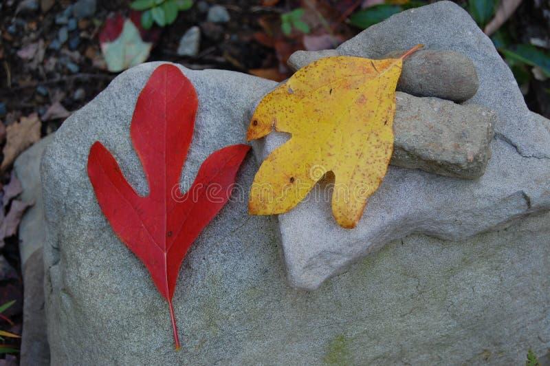 Φύλλα σασαφράδων στο Glen Angeli - το johnson-Medland & η δενδροφυτεία γιων στοκ φωτογραφίες