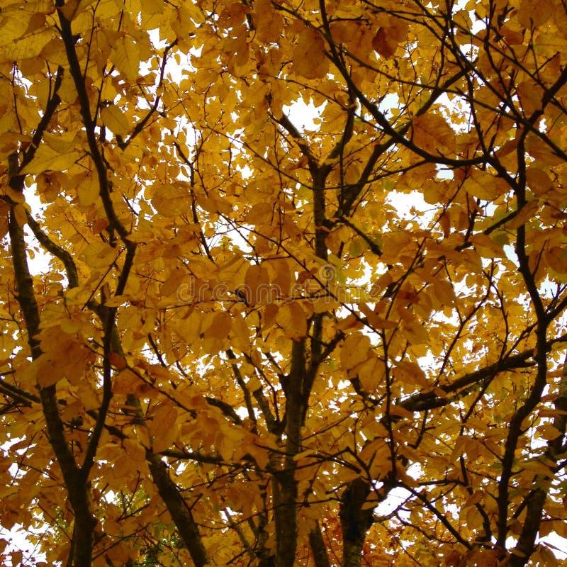 Φύλλα σημύδων το φθινόπωρο στο Κεμπέκ μια ηλιόλουστη ημέρα στοκ φωτογραφίες