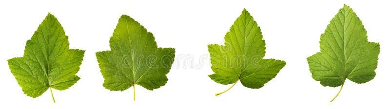 Φύλλα σταφίδων που απομονώνονται στο άσπρο υπόβαθρο στοκ φωτογραφίες με δικαίωμα ελεύθερης χρήσης