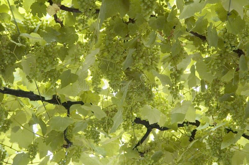 φύλλα σταφυλιών στοκ εικόνα