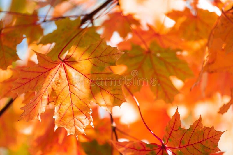 Φύλλα σφενδάμνου στο δέντρο Φθινοπωρινό φόντο Πολύχρωμο φύλλωμα στοκ φωτογραφία με δικαίωμα ελεύθερης χρήσης