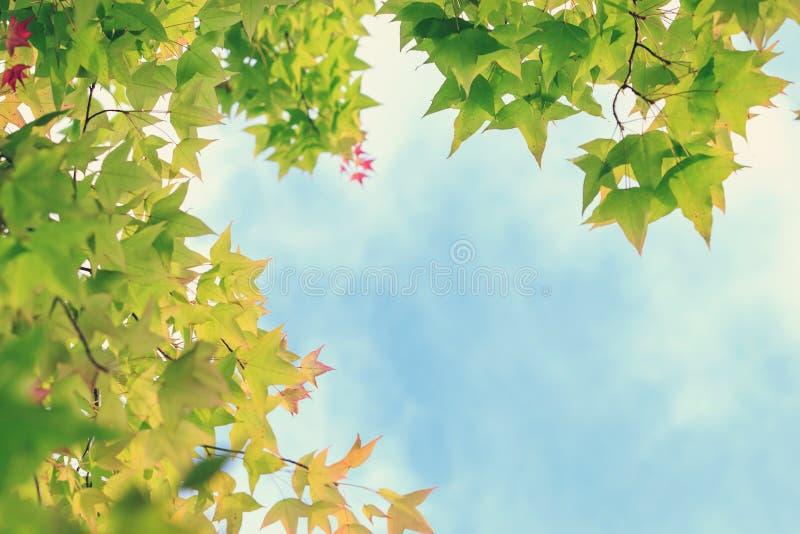 """Φύλλα σφενδάμνου Ï""""Î¿ φθινόπωρο σε γαλάζιο ουρανό με λευκά σύννεφα για Ï†Ï στοκ εικόνες"""