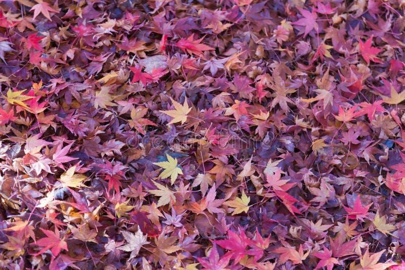 Φύλλα σφενδάμου πτώσης στο έδαφος κατά τη διάρκεια της πρόσφατης εποχής φθινοπώρου στοκ εικόνες