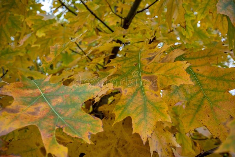 Φύλλα σφενδάμου σε έναν κλάδο δέντρων πριν από την πτώση στοκ φωτογραφίες