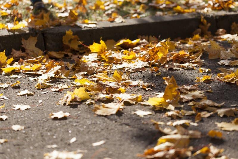 Φύλλα σφενδάμου στο δρόμο στοκ εικόνα