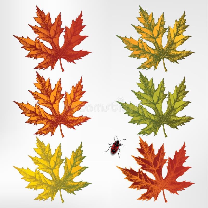 Φύλλα σφενδάμου, σύνολο. Διάνυσμα. απεικόνιση αποθεμάτων
