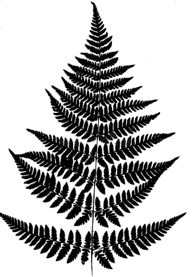 Φύλλα της φτέρης Μαύρη σκιαγραφία που απομονώνεται στο άσπρο υπόβαθρο Μ διανυσματική απεικόνιση